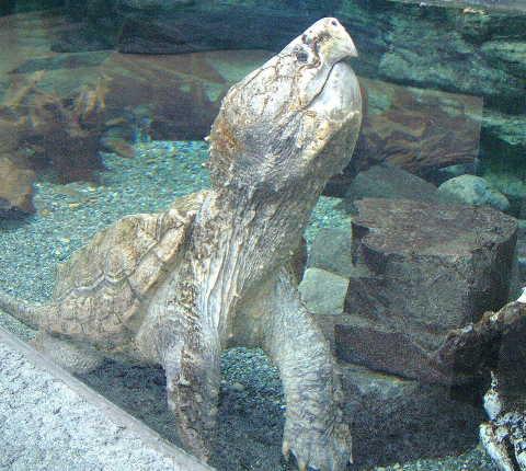 ワニガメの画像 p1_22